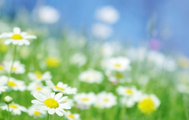 willows-support-group-daisies